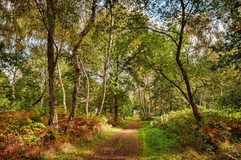 A path in Sherwood Forest, Nottinghamshire, England, UK
